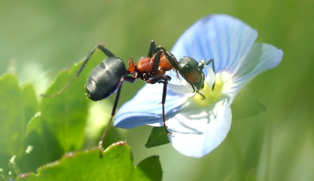ant-in-the-speedwell-1392692_1280